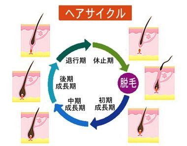 髪の毛の生まれ変わるサイクル