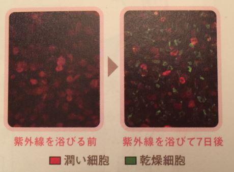 潤い細胞 乾燥細胞