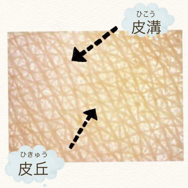 皮溝と 皮丘