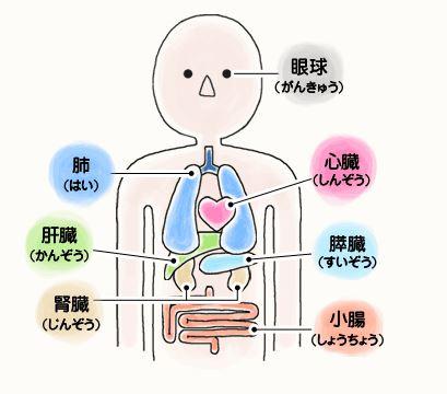 人間の臓器の位置