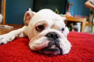 しまりのない顔の犬