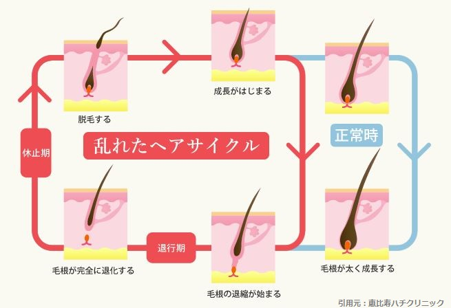 女性の髪の毛のサイクル