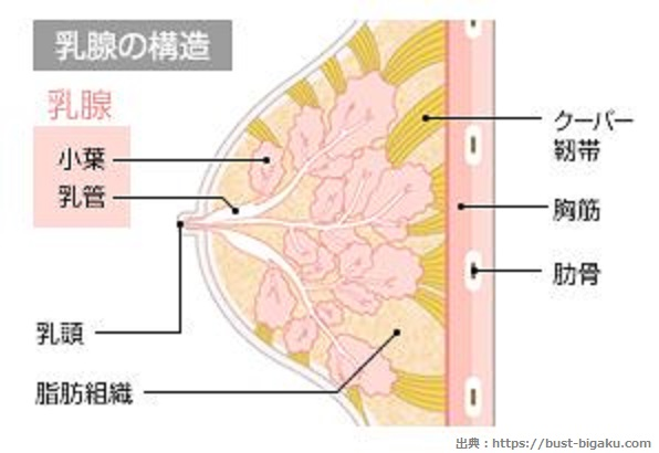 乳腺の構造