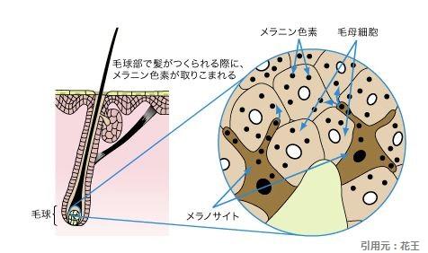毛母細胞_メラノサイト